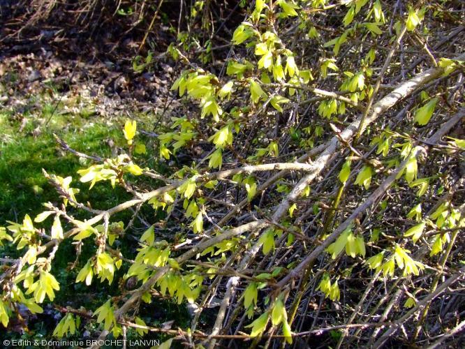Forsythia 39 arnold dwarf 39 fosythia nain - Quand tailler un forsythia ...