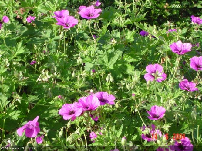 geranium 39 patricia 39 g ranium vivace achat vente le jardin d 39 eau. Black Bedroom Furniture Sets. Home Design Ideas