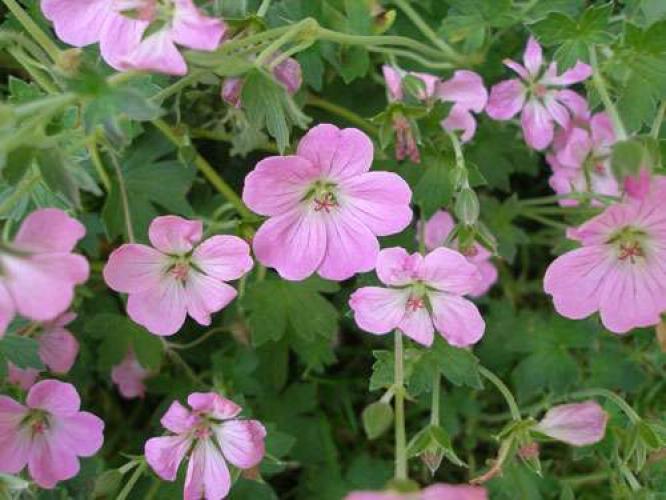 Geranium x riversleaianum 39 mavis simpson 39 - Beau jardin rose and geranium ...