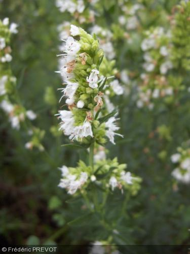 hysope blanche hyssopus officinalis 39 albus 39 arom 39 antique aromatiques. Black Bedroom Furniture Sets. Home Design Ideas