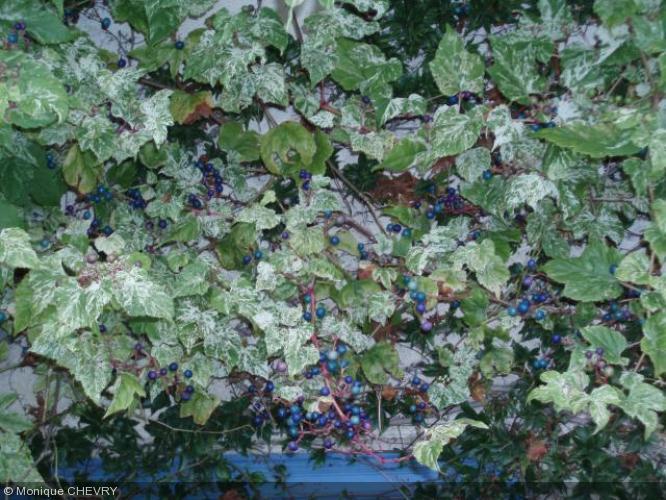 Ampelopsis glandulosa var. brevipedunculata