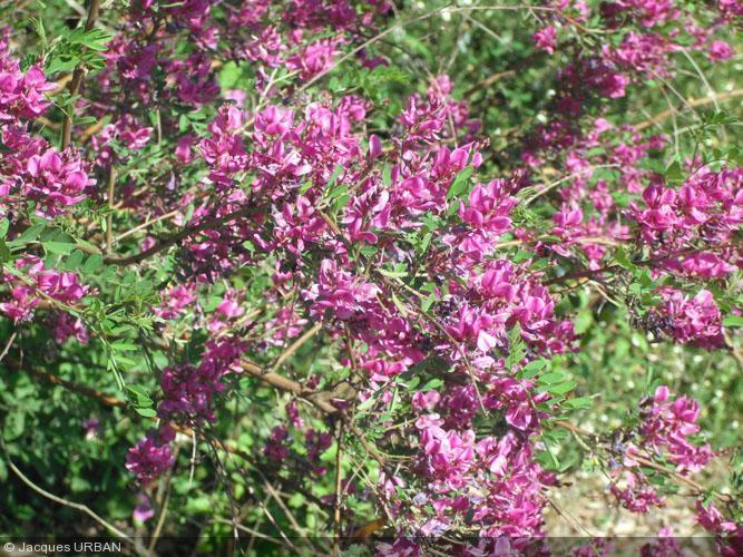 Indigofera heterantha indigotier for Plante 7 folioles