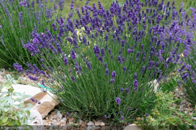 pin lavandula angustifolia hidcote on pinterest. Black Bedroom Furniture Sets. Home Design Ideas