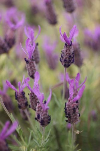 Lavandula stoechas subsp. pedunculata