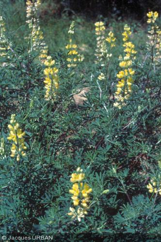 Lupinus arboreus