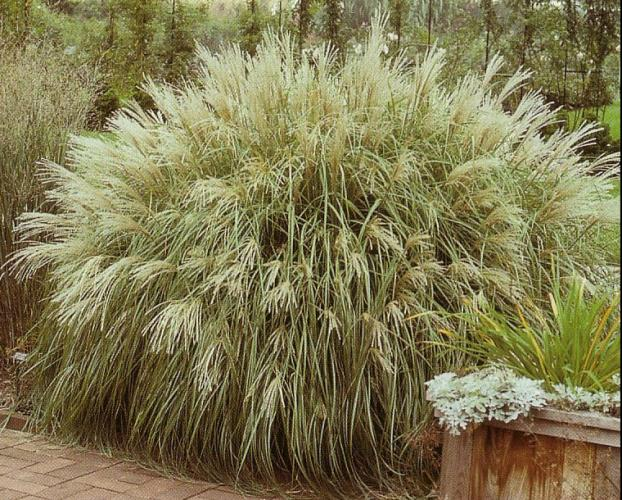 miscanthus sinensis yakujima progressive plants. Black Bedroom Furniture Sets. Home Design Ideas