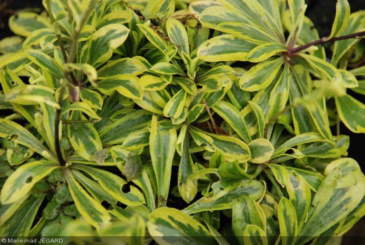 Arabis ferdinandi-coburgi  'aureo variegata'