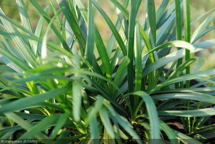 ophiopogon japonicus muguet du japon mondo grass. Black Bedroom Furniture Sets. Home Design Ideas