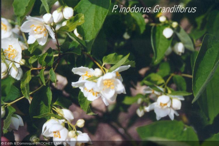 Philadelphus inodorus  'Grandiflorus'