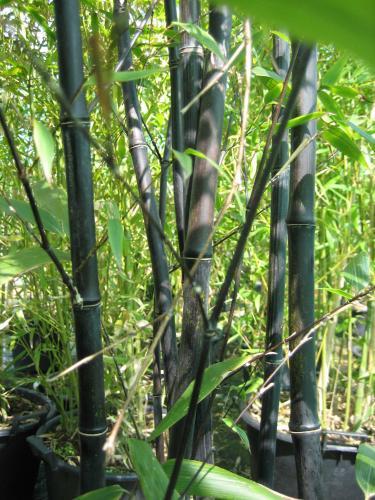 phyllostachys nigra bambou noir. Black Bedroom Furniture Sets. Home Design Ideas