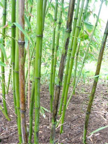 phyllostachys nigra 39 boryana 39 bambou mouchet noir. Black Bedroom Furniture Sets. Home Design Ideas