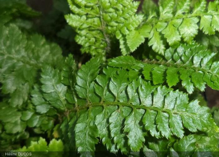 Polystichum setiferum  'Congestum'