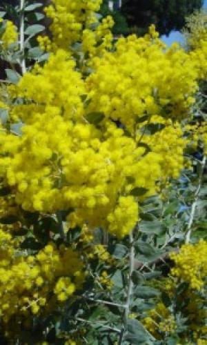 Acacia podalyriifolia