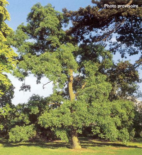 Quercus acutissima