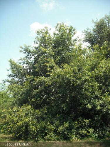 Quercus chenii