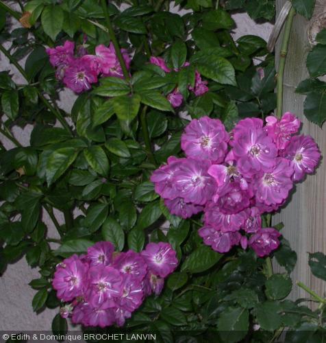 Rosa 39 amethyste 39 rosier for Rosier grimpant pour mi ombre