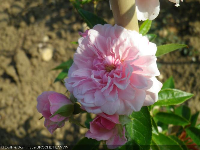 Rosa  'Petit Bonheur(R)'