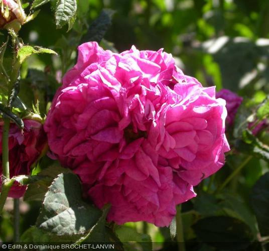 rosa 39 charles de mills 39 rosier. Black Bedroom Furniture Sets. Home Design Ideas
