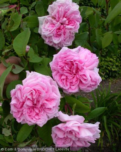 Rosa 39 enfant de france 39 rosier for Rosier jardin de france