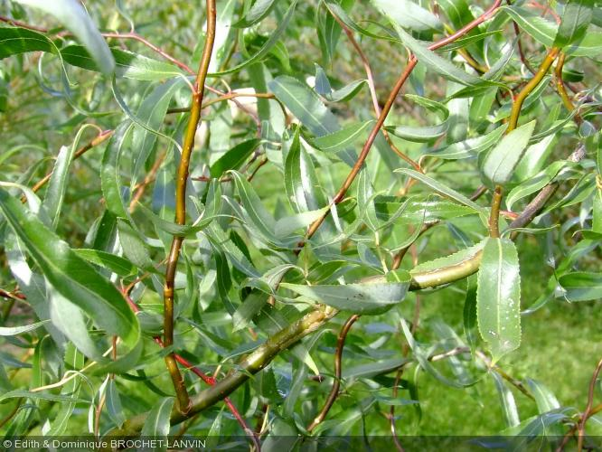 Salix alba  'Dart's snake'