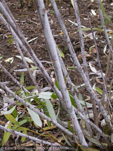 Salix irrorata