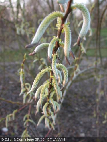 Salix miyabeana