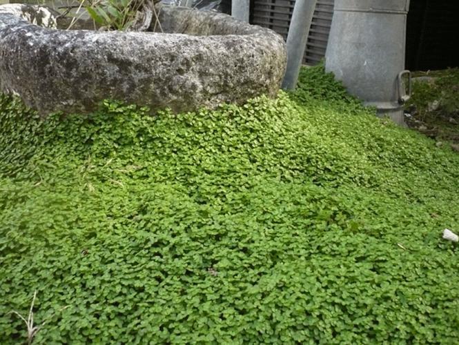 Soleirolia soleirolii helxine achat vente p pini re lumen for Plante ombre exterieur