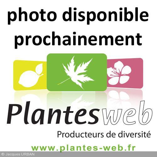 Syringa reticulata subsp. pekinensis