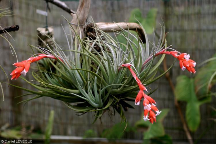 Tillandsia leonamiana