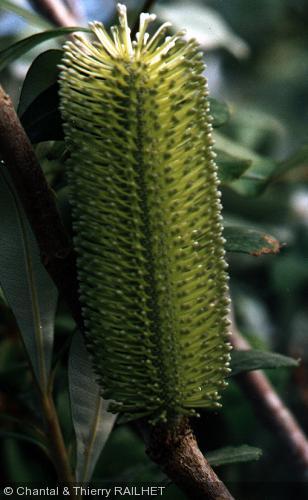 Banksia marginata