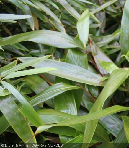 Indocalamus longiauritus petit bambou feuille longue - Plante longue feuille pointue ...
