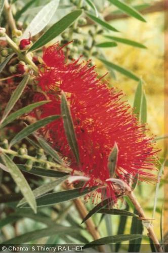 Callistemon montanus
