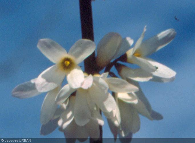 Abeliophyllum INFORMATIONS (?A)