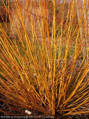 Salix x basfordiana