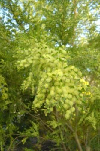 Acacia howittii