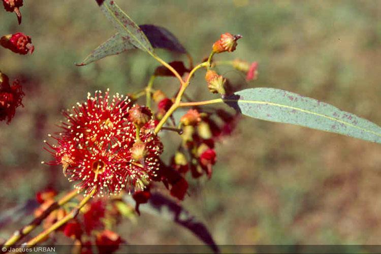 Eucalyptus INFORMATIONS (?E)