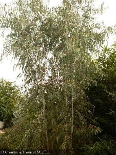 Eucalyptus saxatilis