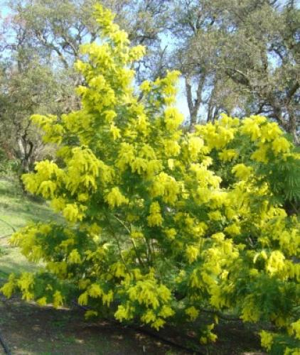 acacia dealbata 39 gaulois 39 mimosa gaulois. Black Bedroom Furniture Sets. Home Design Ideas