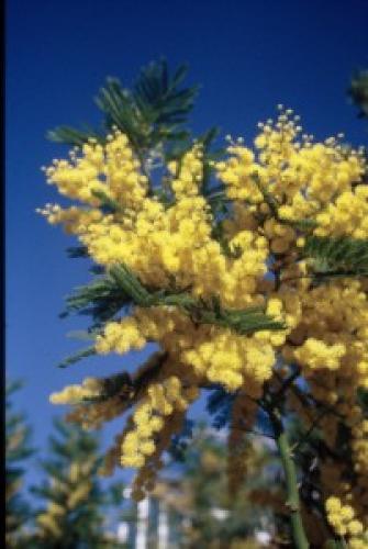 Acacia dealbata    'Virginia'
