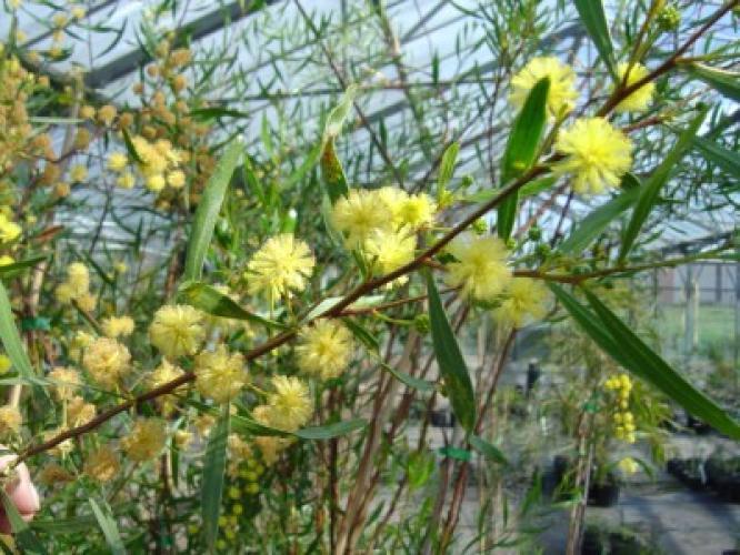 Acacia dodoneaeifolia