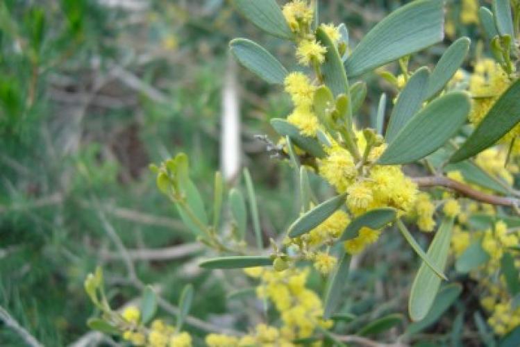 Acacia redolens