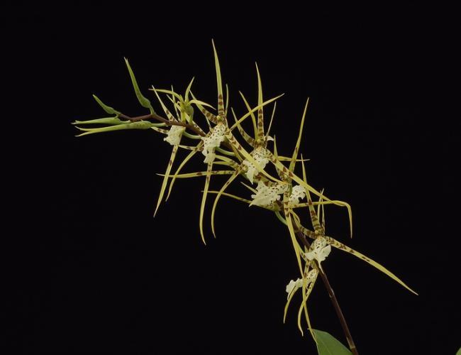 Brassia  'Rising Star'