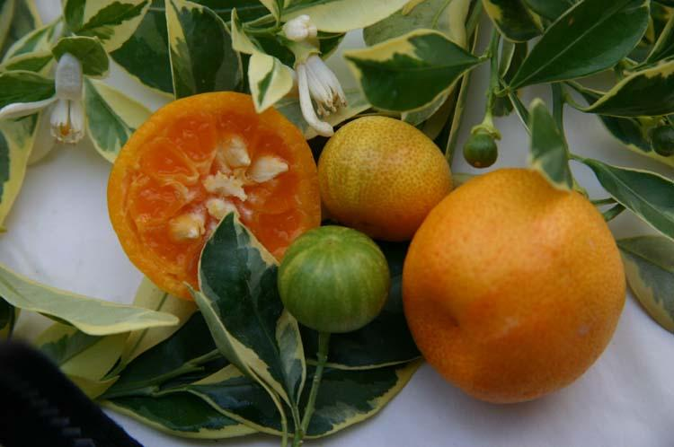 Citrus madurensis  'Variegata'