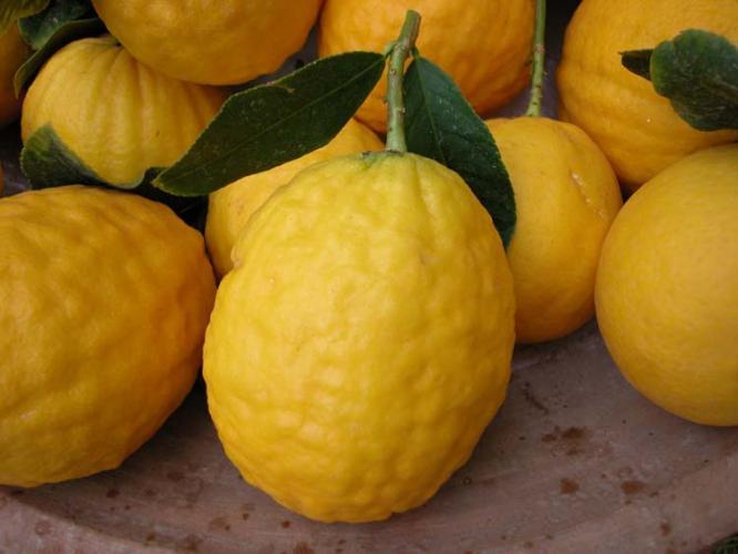 Citrus medica  'De Corse'