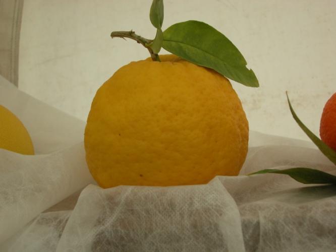 Citrus medica  'Poncire de Cotlliure'