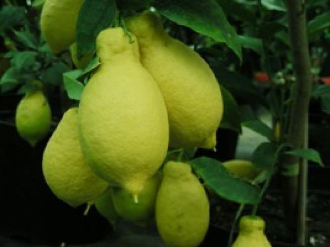 Citrus limon  'Lunari'