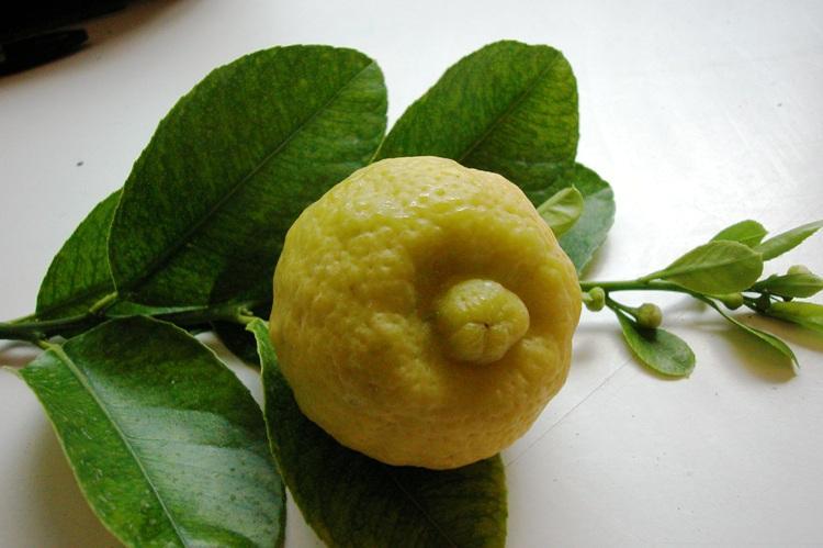 Citrus limettioides  'lime de Palestine'