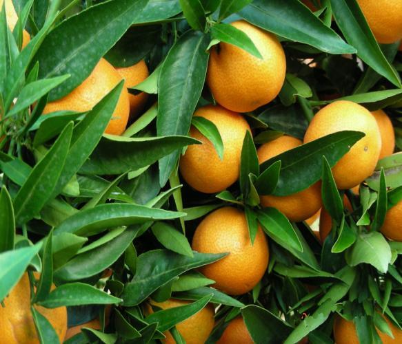 Citrus reticulata  'Corsica'