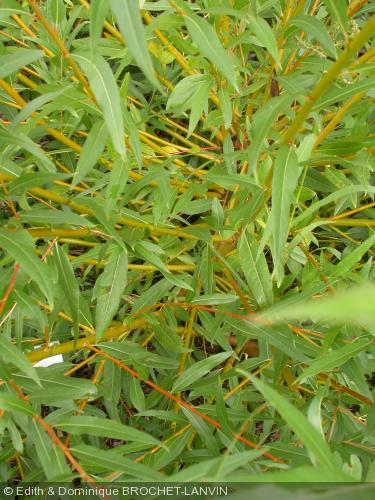 Salix alba  'Jaune de Falaise'