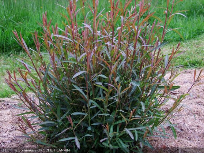 Salix x rubra   'Eugenii'